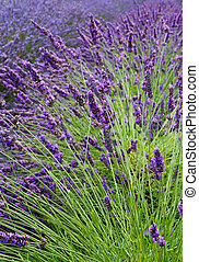 Lavender Field Vertical Near - Lavender flower field...