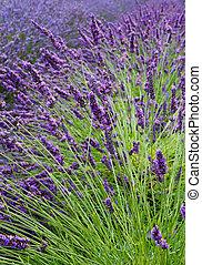 Lavender Field Vertical Near - Lavender flower field...