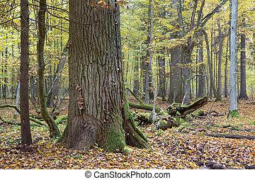 Old oak in fall - Old oak tree in autumnal landscape of...