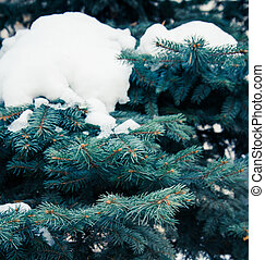background with blue spruce branches