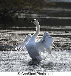 Graceful beautiful mute swan cygnus olor stretches it's...