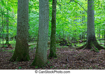 Primeval deciduous stand of natural stand in summer -...