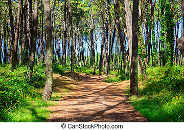 Pinewood in Cantabria - Pinewood in the Liencres dunes...