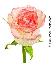 Beige rose bud with water drops isolated on white