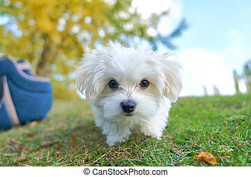 Cute small Maltese in front of a camera - Cute small Maltese...