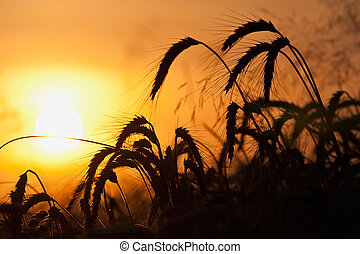 Field on sunset - Ripe wheat field under an orange sky