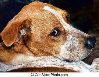Red Heeler Dog. - Closeup of cute Red Heller dog.