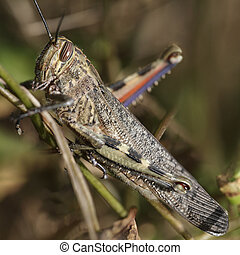Detailed macro of a grasshoppper - Detailed macro photo of a...