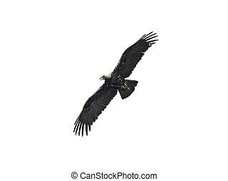 Spanish imperial eagle (Aquila adalberti) - Spanish imperial...