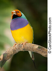 tropical bird - a small yellow purple bird