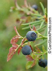 Common bilberry - Vaccinium myrtillus (common bilberry) is...