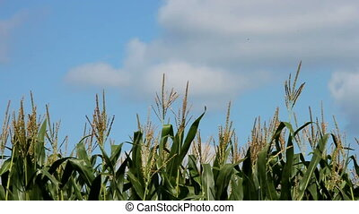 corn field in summer