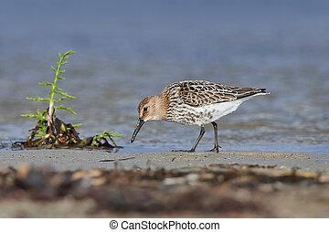 Sanderling (Calidris alba) - Sanderling looking for food in...
