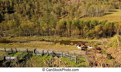 Herd of horses, it goes through a mountain brook and leaves in forest
