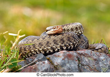 beautiful female european common adder basking on a rock (...