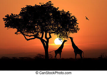 Large South African Giraffes at Sunset in Africa - South...
