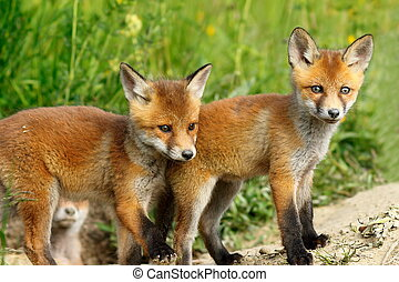 red fox brothers - two cute red fox brothers, young wild...