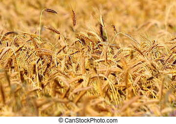 yellow textural wheat field detail in late summer