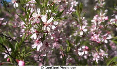 Almond blossom. - Pink flowers of almond bush (Prunus...