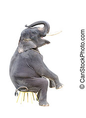 elephant - isolated elephant on a sitting position