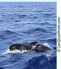 pilot whales free with baby in mediterranean - pilot whales...