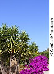 bougainvillea pink flowers and palm trees garden in...