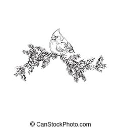 Cardinal bird, sketch, vector illustration