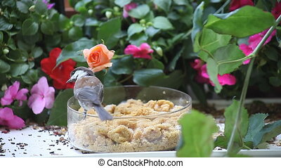 chickadee calls to its mate - a lively chickadee chirps and...
