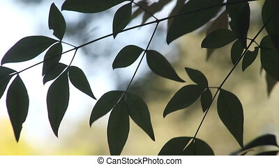 graceful leaves - dark green leaves of a nandina or heavenly...