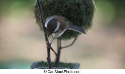 hungry bird eats mealworm - chickadee tears into a mealworm...