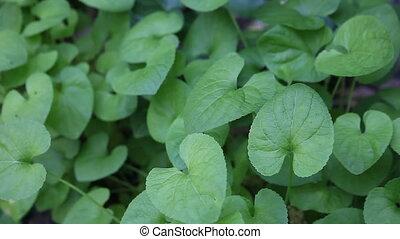 violet leaves - leaves of sweet violet plants in a soft...