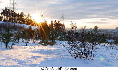 Young pine trees at sunset. Camera moves