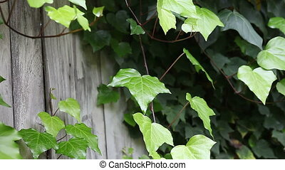 ivy on an weathered fence - ivy almost covers an old gray...