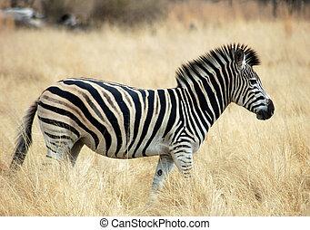 Burchell\'s Zebra in Africa - A Burchells Zebra (Equus...