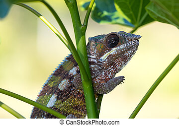 panther chameleon (Furcifer pardalis) on small branch in...