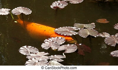goldfish - huge goldfish