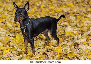 Portrait of a doberman pinscher puppy. Fall season