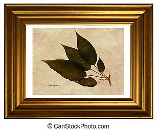 Herbarium of Lemon - Herbarium from pressed and dried leaf...