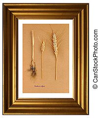 Herbarium of Barley - Herbarium from pressed and dried plant...