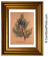 Herbarium of Mediterranean cypress - Herbarium from pressed...