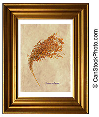 Herbarium of proso millet - Herbarium from pressed and dried...