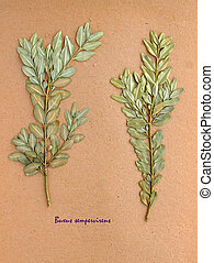Dried leaves of common box - Herbarium from pressed and...