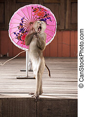 Macaques in circus fashion shows with an umbrellaThailand...