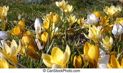 Crocus in yellow colours, slider