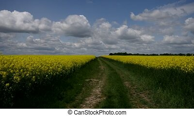 Rape field with dirt road in spring