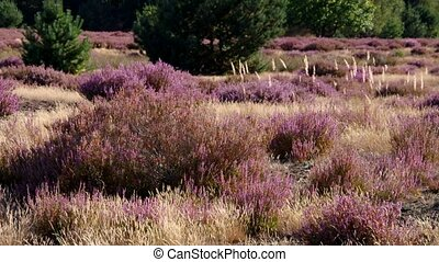 Heath landscape with flowering Heather, Calluna vulgaris