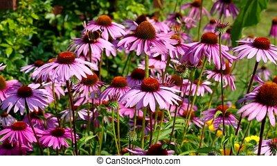 Echinacea purpurea, Purple coneflower, nice pink summer...