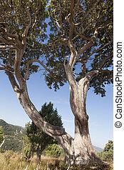Juniper - Giant Juniper