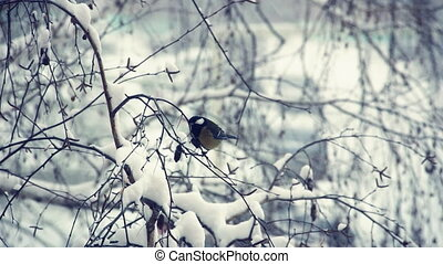 Tit on a snow-covered branches 3 - Titmouse on a...