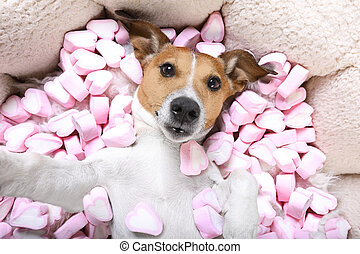 dog love valentines selfie - Jack russell dog looking and...